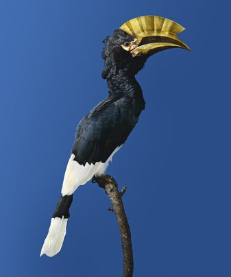 Brown-Cheeked Hornbill [Bycanistes attractivus]